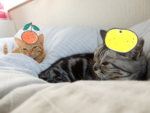 トムドロ 猫ブログ 2015正月