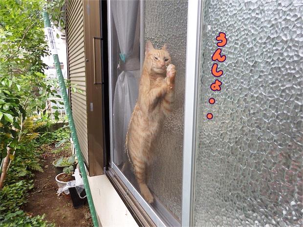 網戸にはさまった猫 トムドロ